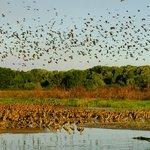 Whistling ducks take flight