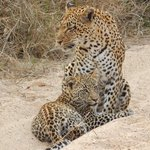 Mother leopard and her cub