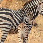 Zebra and her baby