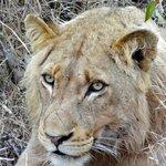 Young male lion stalking a kudu.