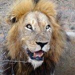 Leo well fed at a buffalo kill