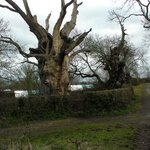 Gog and Magog (the old oaks)