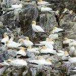 Northern gannets nesting on Bass Rock