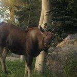 Moose sighting in Grand Lake!