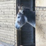 Billy the donkey