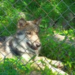 wolf preserve on site