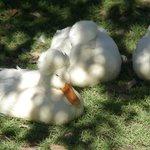 Ducks resting