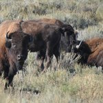 bison off the road