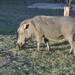 Warthog in camp by our tent no. 33