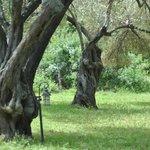 heerlijk luieren in de olijfboomgaard. liggend in de hangmat