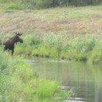 Bearded Bull Moose