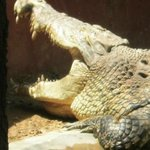 vicious looking croc
