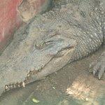 crocodile at snake park