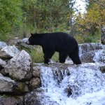 Black bear crossing waterfall