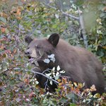 Cinnamon black bear up a tree