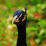 Hello peacock