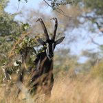 The beautiful Sable Antelope
