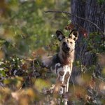 The alpha female to the pack of African Wild Dog that denned close to one camp. A very rare and