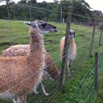 Llamas - you can feed them