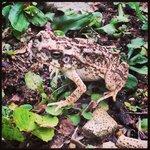 Geckos garden frog