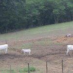 le mucche al pascolo