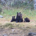 Grizzly Bears and cubs