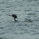 Loon in front of dock!