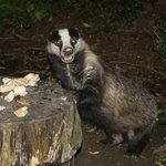 Badger enjoying peanut butter sandwiches outside Yr Ffald