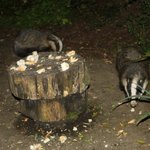 On one occasion, four badgers came to visit (two were out of shot!)