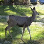 Mule deer in backyard of motel