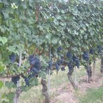 Barolo Wine Grapes