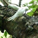 Local Terns, nesting on the motu