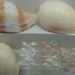 one shell two shells, small shells, big shells