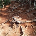 Muddy roots on the trail