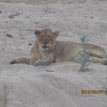 Lioness infront of chalet