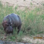 Hippo looking for food during sunset