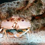 unique hermit crab that walk side ways
