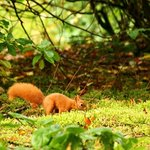 Red Squirrel caching beech nuts