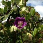 pretty purple flower vine, wish it was labeled.