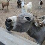 donkey with attitude