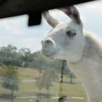 That crazy llama
