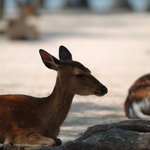 宮島に棲む野生の鹿