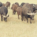 Buffalo breeding programme