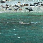 Seal swimming along by our boat
