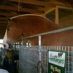Big Ben, 3006 lbs. Belgian Draft Horse