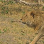 Lion passing within 6 feet of Land Rover