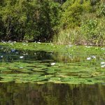 Close up view of the water lillies near Figtree Lake