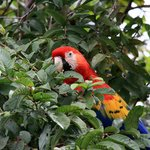 The ARA Project Scarlet Macaw