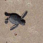 Sea Turtle Preservation Society Turtle Walk