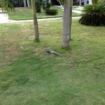 One of the resident iguanas outside our door